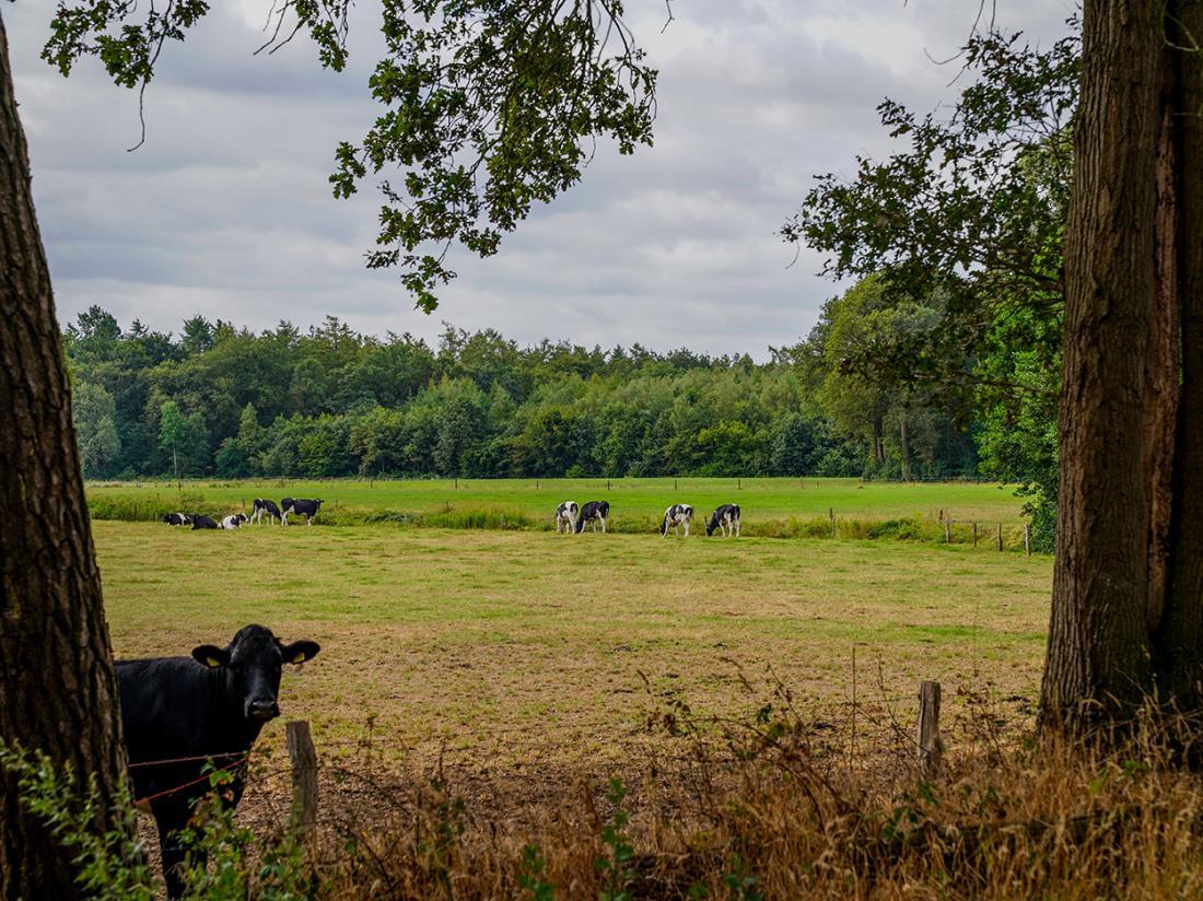 Resort Bad Boekelo Omgeving Koeien Weekendje Genieten
