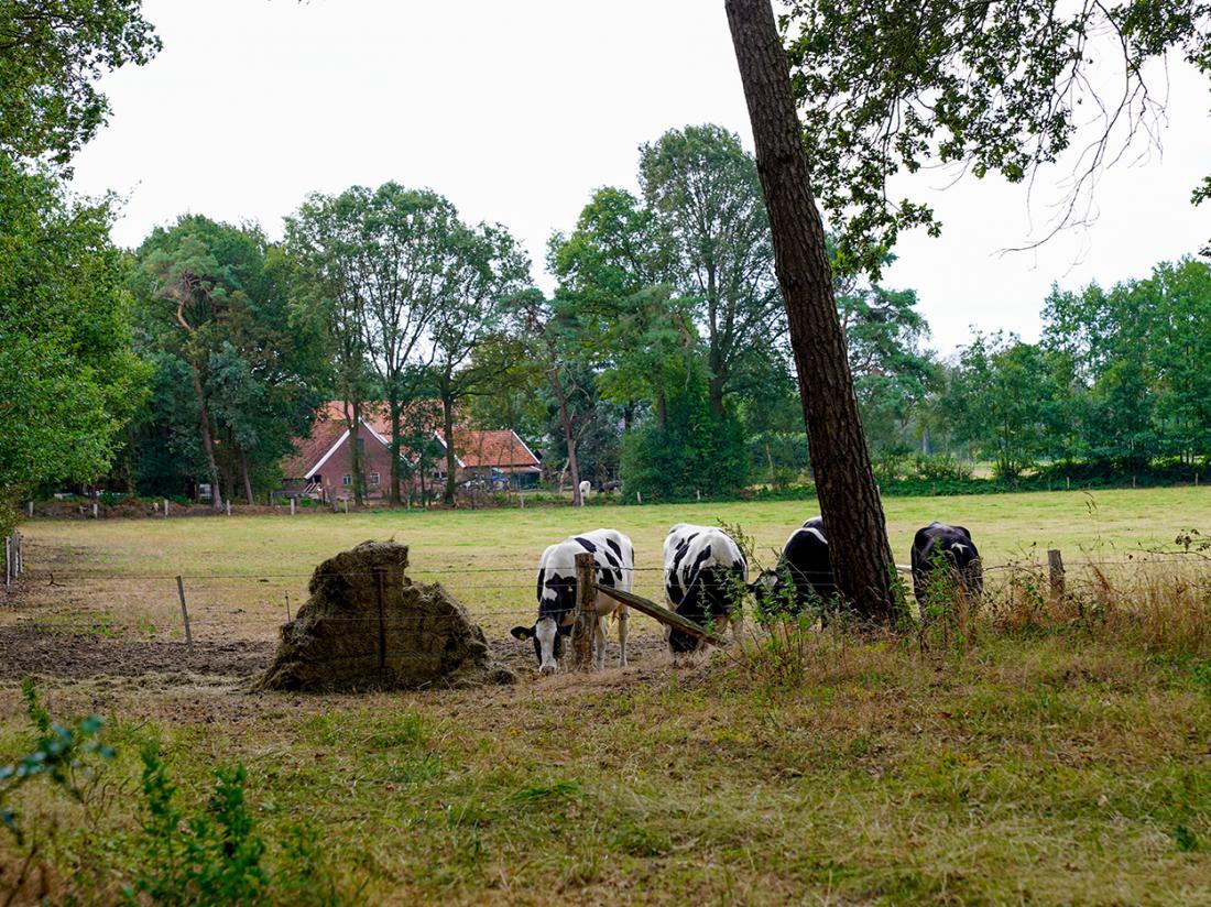 Resort Bad Boekelo Omgeving Koeien