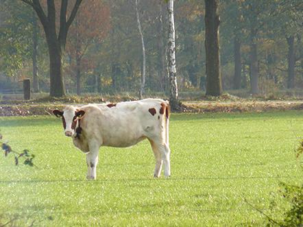 Landhotel de Greune Weide koe
